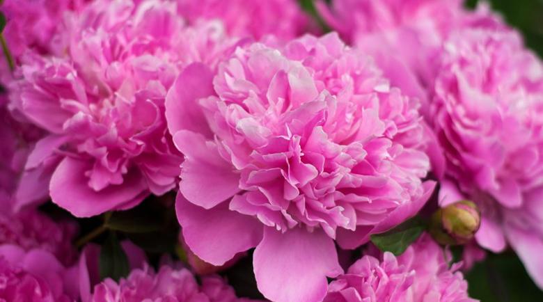 Цветята, които носят късмет според фън шуй